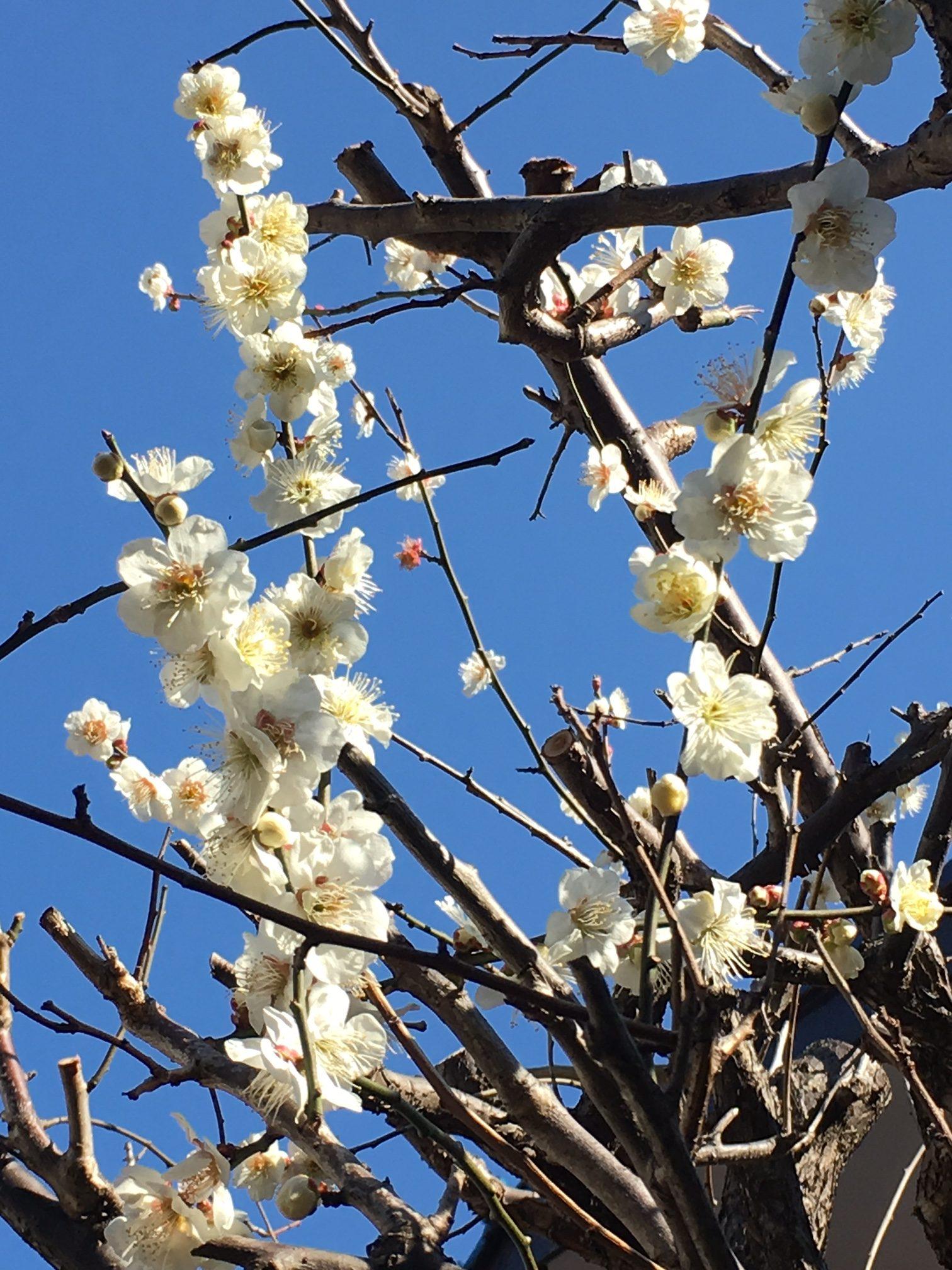 梅の花が今年も咲いた。そこから学ぶ「自己表現の本質」
